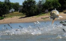 Asian silver carp leaping