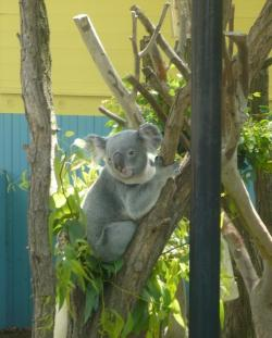 A koala at the Cleveland Metroparks Zoo.