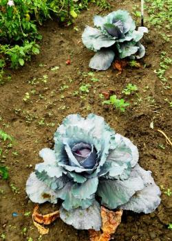 Freshly grown produce such as these vegetables are to help city residents develop healthier diets (pic by Brian Bull).