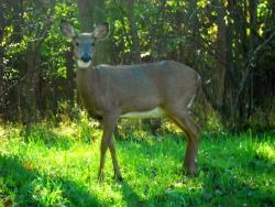 A deer outside Brandywine Falls at Cuyahoga Valley National Park wonders where the visitors are (pic by Brian Bull)