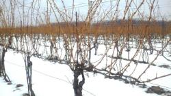 Vines at Ferrante Winery after polar vortex (photo from Nick Ferrante)