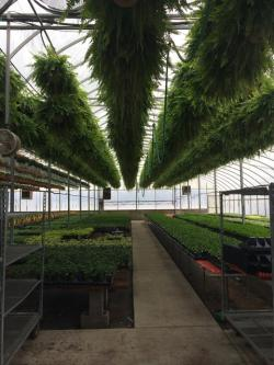Ferns hang from the ceiling of a greenhouse at Sabo's Woodside Nursery in Madison. (Tony Ganzer/WCPN)