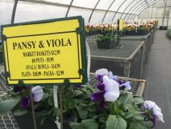 Thomas says Pansies are a strong, hardy flower. (Tony Ganzer/WCPN)