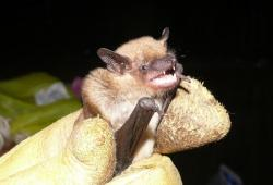 A normal, non-infected Big Brown Bat (pic: Jerry Cannon, Summit Metro Parks)