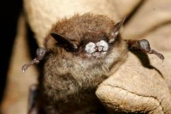 Little Brown Bat with White Nose Syndrome (pic: Ryan Von Linden, NYDEC)