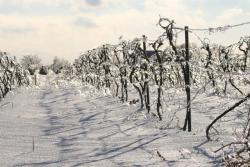 Flickr.com photo of snow-covered vines by Martin Cathrae.
