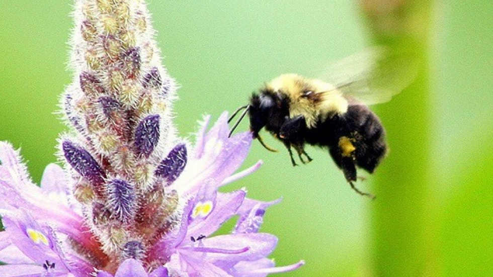 Bee at Punderson State Park, in Geauga County (pic by Brian Bull)