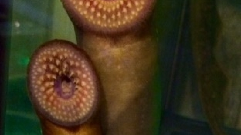 Lampreys on display at the Cleveland Aquarium (pic: Brian Bull)
