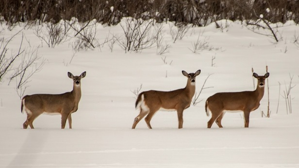 White tailed deer photographed by flickr.com's Conrad Kulper.