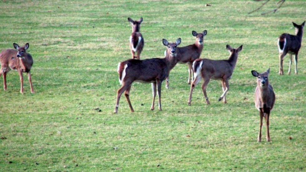 Flickr.com photo of deer in Boston area by Kevin T. Quinn.