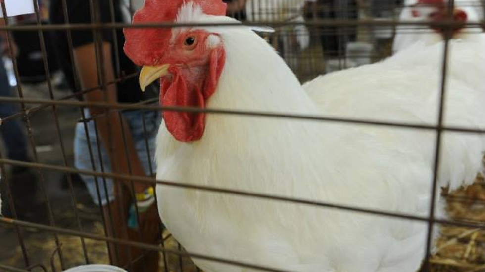 Chicken at Ohio State Fair (OPR/Andy Chow)