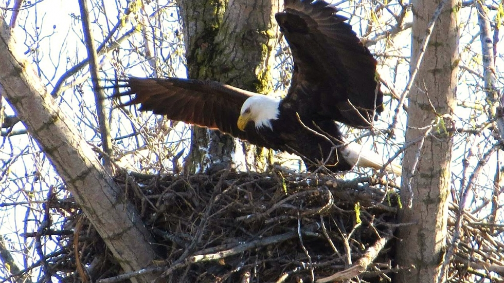 Bald Eagle tends to a newly born eaglette, Spring 2017