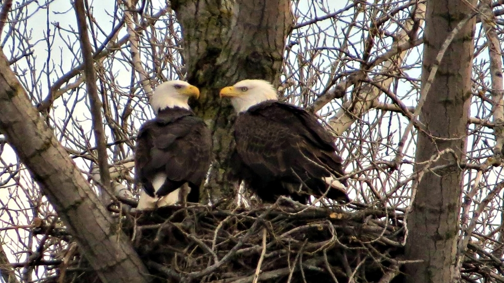 Bald Eagle pair tends to a newly born eaglette, Spring 2017