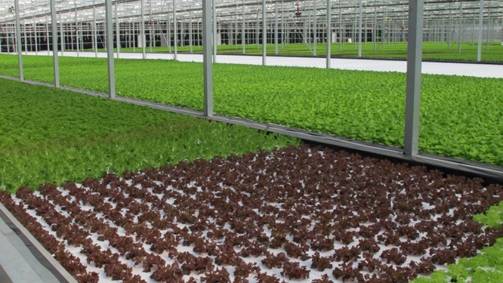 Thousands of lettuce heads mature in a greenhouse near E. 55th and Woodland.