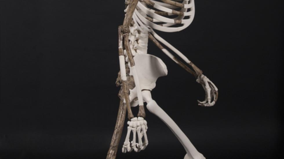 A cast reconstruction of Lucy, the 3.2 million-year-old-human ancestor of the species Australopithecus afarensis.