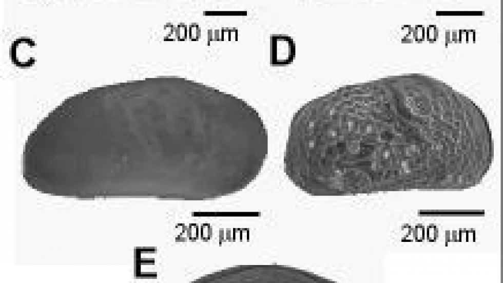 These microorganisms, also known as ostracodes, are found in the lake bottom