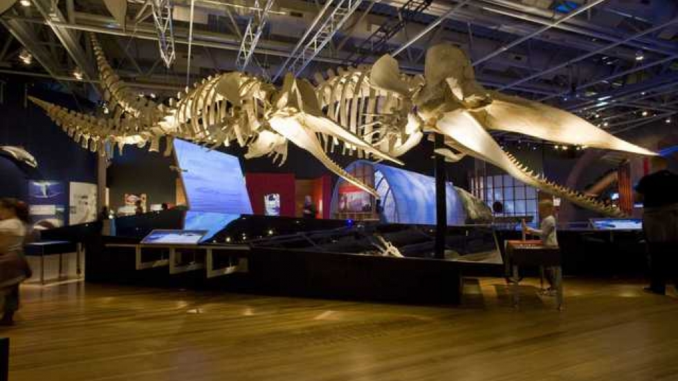 The skeletons of male and female (foreground) sperm whales.  Courtesy: Museum of New Zealand Te Papa Tongarewa.