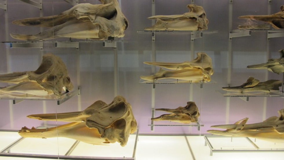 A variety of whale skulls.