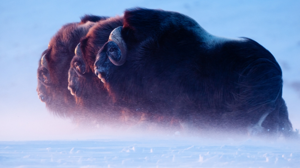 Musk ox bulls walk through a blizzard toward the setting sun