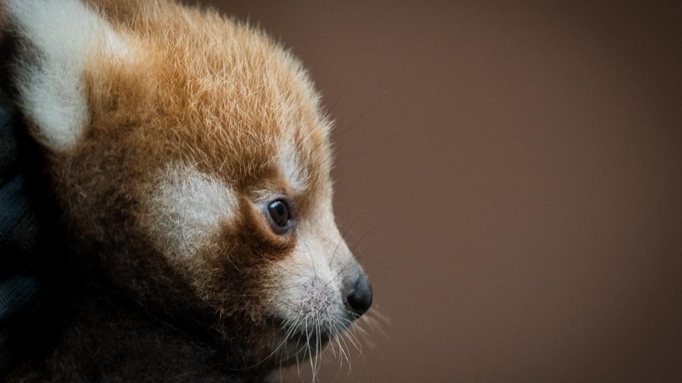 Image of: Ppt Baby Red Panda cleveland Metroparks Zoo Allposters Zoo Breaks Ground On New Home For Endangered Red Pandas Leopards