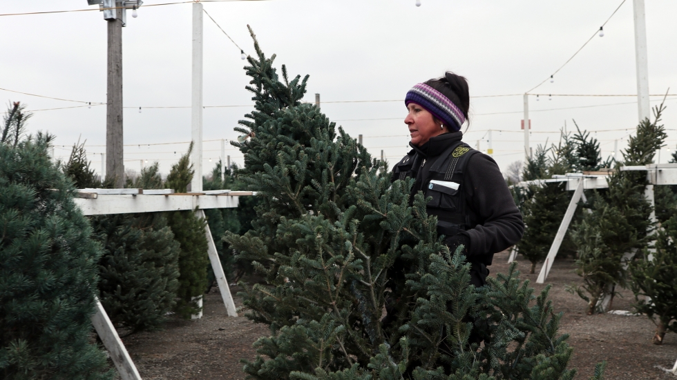 A woman in winter clothes picks up a Christmas tree that is taller than her. She is standing in a dirt lot, surrounded by rows of other trees.