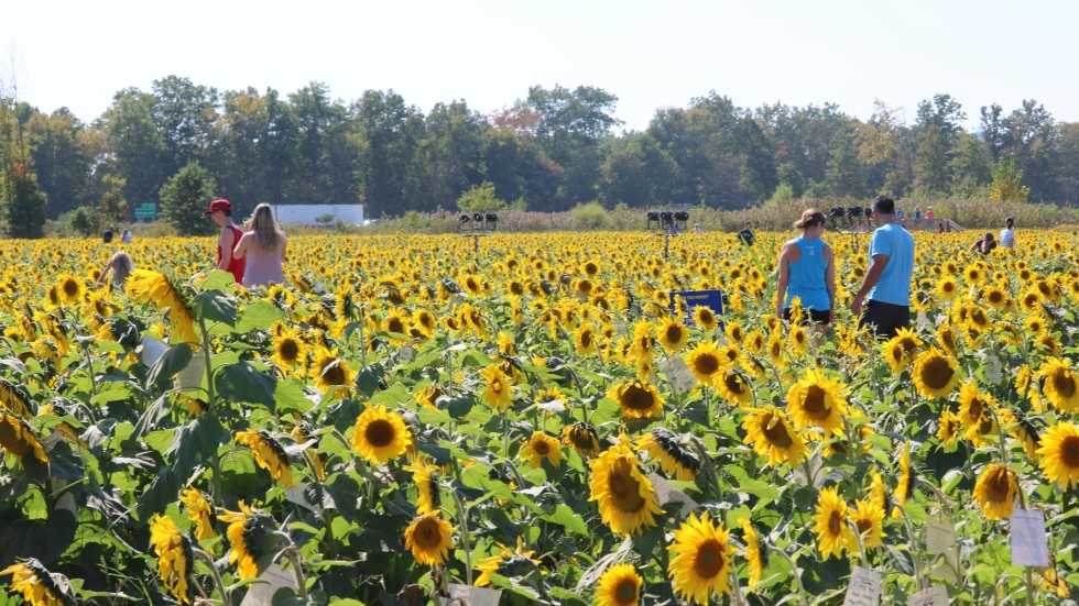 A few visitors observe sunflowers blooming in a field [Tim Dubravetz/ideastream]