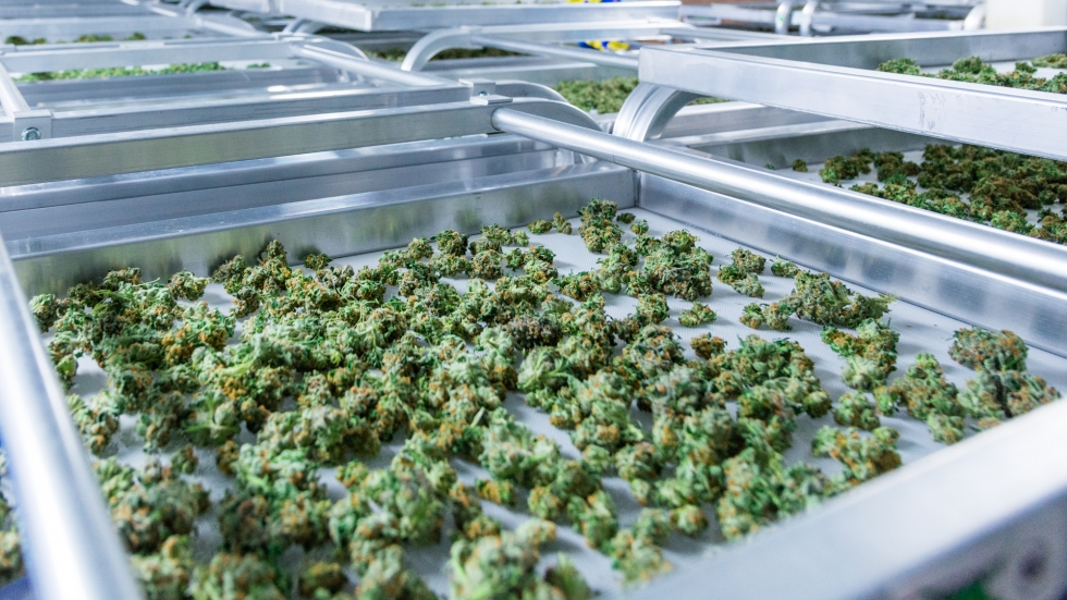 Green marijuana buds lay spread out on a steel tray.