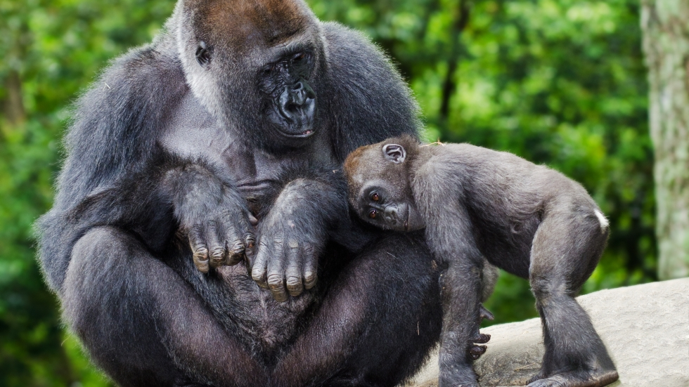 Zoetis developed the vaccine for animals in response to confirmed cases of COVID-19 in gorillas at the San Diego Zoo. The company is donating more than 11,000 vaccine doses to nearly 70 zoos, including the Cleveland Metroparks Zoo. Rob Hainer / Shutterstock]