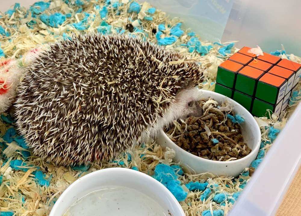 Doug Paige's hedgehog Toothpick snacks on mealworms.